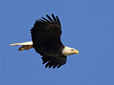 Photograph - Bald Eagle With Fish by Mercedes Martishius