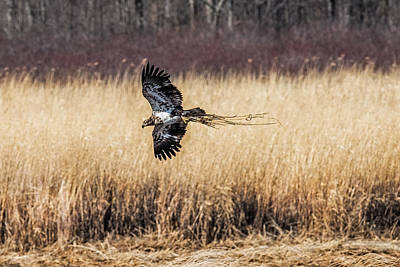 Bif Photograph - Bald Eagle With Nesting Material by Paul Freidlund
