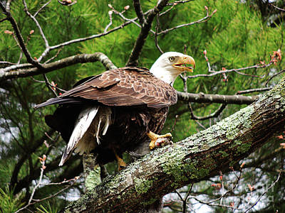 Photograph - Bald Eagle With Prey by Mim White