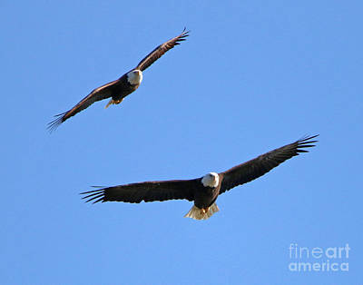 Wings Of Wind Photograph - Bald Eagles Feeling The Wind Beneath Your Wings  1449 by Jack Schultz