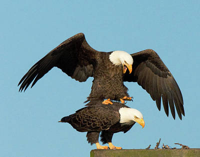 Photograph - Bald Eagles Mating by Jack Nevitt
