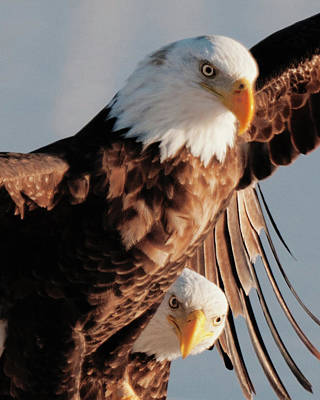 Photograph - Bald Eagles by Norman Hall