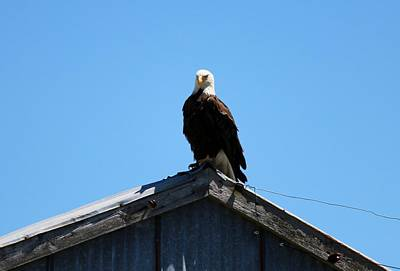 Photograph - Bald Eagle's Perch  by Christy Pooschke