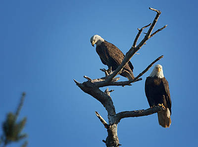Photograph - Bald Eagles by Randy Hall