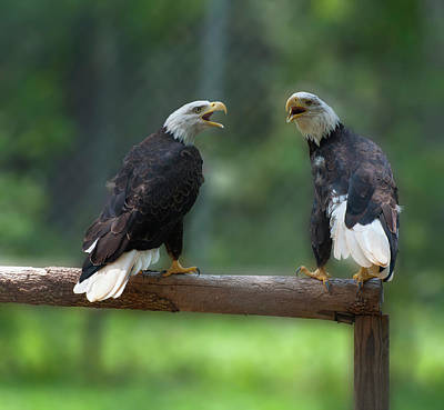 Photograph - Bald Eagles Singing by Chris Flees