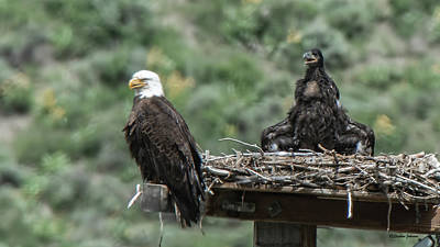 Photograph - Bald Eaglet Cooling Off On A Hot Spring Day by Stephen Johnson