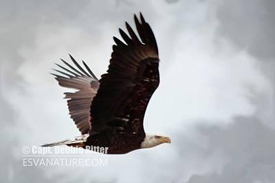 Photograph - Bald Egle 7426 by Captain Debbie Ritter
