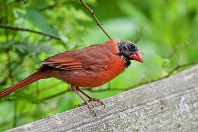 Photograph - Bald Northern Cardinal by Michael Peychich