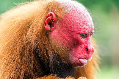 Red Monkey Photograph - Bald Uakari Closeup by Jess Kraft