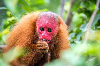 Red Monkey Photograph - Bald Uakari Monkey by Jess Kraft