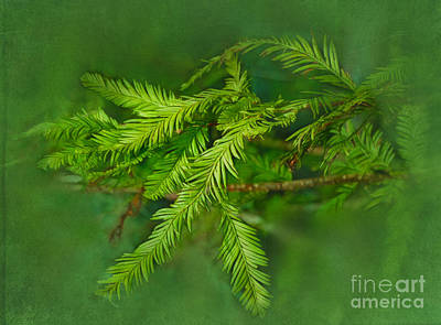 Photograph - Baldcypress Leaves by Judi Bagwell