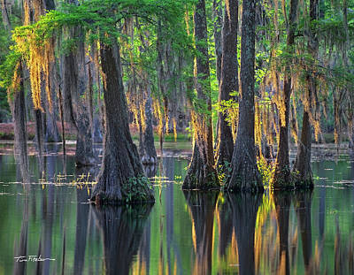 Baldcypress Trees, Louisiana Art Print