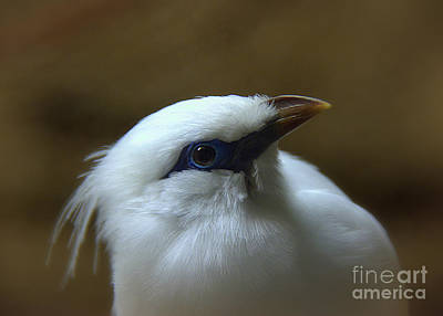 Photograph - Bali Mynah by Lisa L Silva