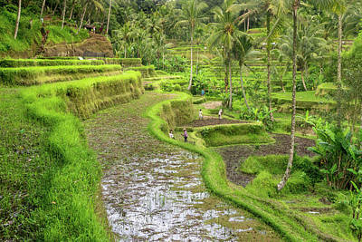 Photograph - Bali - Rice Fields Terraces by Martin Capek