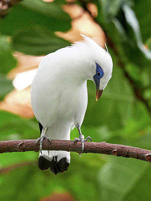 Jouko Lehto Royalty-Free and Rights-Managed Images - Bali Starling  at Berlin Zoo by Jouko Lehto