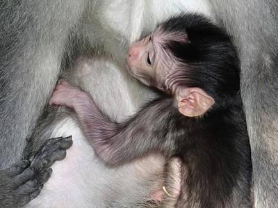 Exploramum Photograph - Balinese Baby Monkey Feeding by Exploramum Exploramum