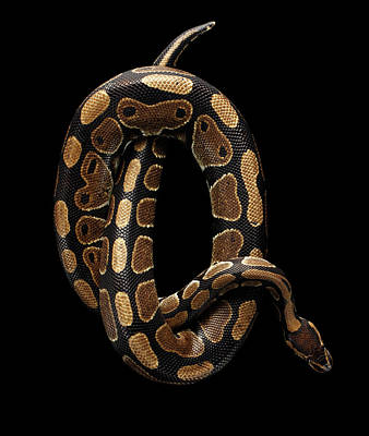 Reptiles Photograph - Ball Or Royal Python Snake On Isolated Black Background by Sergey Taran