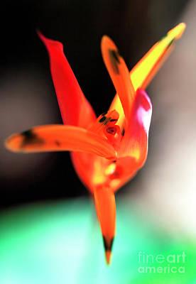 Photograph - Ballerina Flower At The Bocas Del Toro Butterfly Garden by John Rizzuto