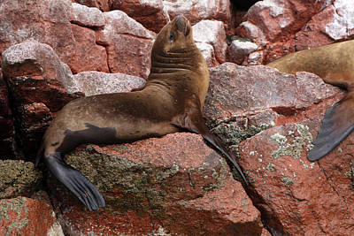 Photograph - Ballestas Island Fur Seals by Aidan Moran
