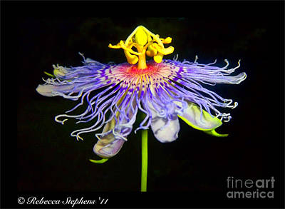 Passion Fruit Photograph - Ballet by Rebecca Stephens