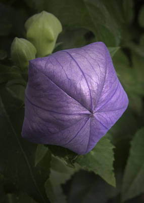 Balloon Flower Photograph - Balloon Flower by Nancy Griswold