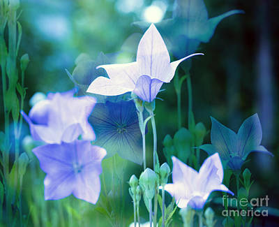 Balloon Flower Photograph - Baloon Flowers by Linda Troski