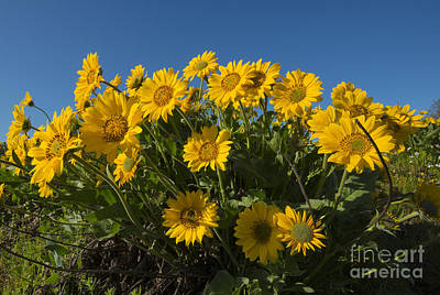 Photograph - Balsamroot by Mike Dawson