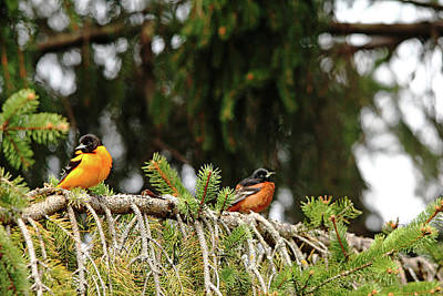 Photograph - Baltimore And Orchard Orioles by Debbie Oppermann