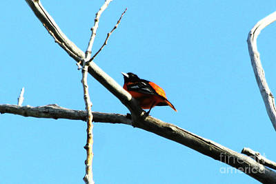 Photograph - Baltimore Oriole by Alyce Taylor