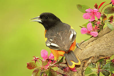 Photograph - Baltimore Oriole Among Apple Blossoms by Max Allen