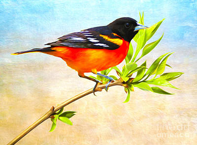 Oriole Wall Art - Photograph - Baltimore Oriole Bird by Laura D Young