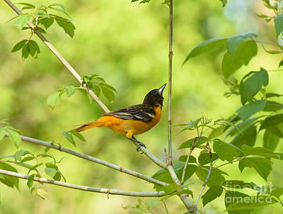 Photograph - Baltimore Oriole by Charles Owens
