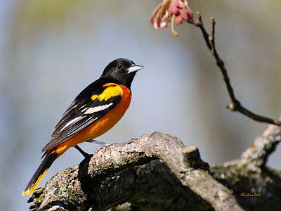 Oriole Photograph - Baltimore Oriole by Christina Rollo