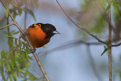 Photograph - Baltimore Oriole by David Watkins