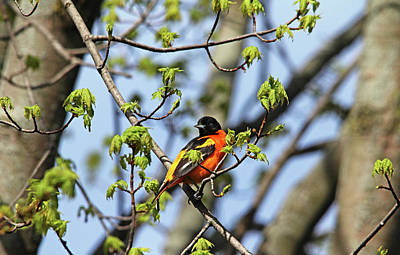 Photograph - Baltimore Oriole In Spring Maple Tree by Debbie Oppermann