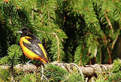 Photograph - Baltimore Oriole In Spruce Tree by Debbie Oppermann