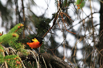Photograph - Baltimore Oriole In Spruce Tree I by Debbie Oppermann
