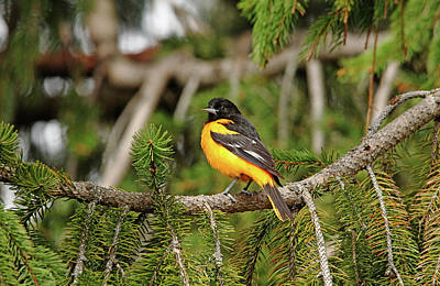 Photograph - Baltimore Oriole In Spruce Tree II by Debbie Oppermann