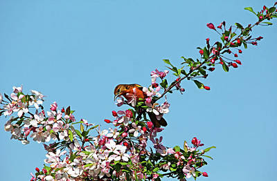 Photograph - Baltimore Oriole In The Blossoms by Debbie Oppermann