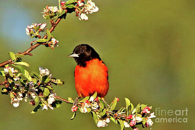 Baltimore Oriole Art Print by James F Towne