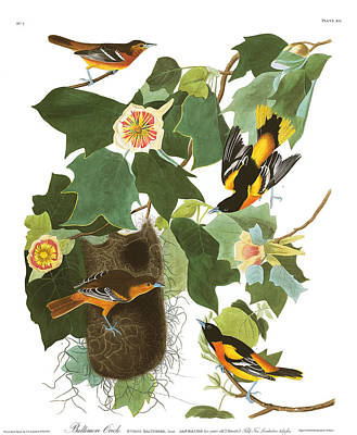 Oriole Painting - Baltimore Oriole by MotionAge Designs