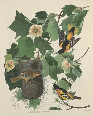 Audubon Drawing - Baltimore Oriole by Dreyer Wildlife Print Collections