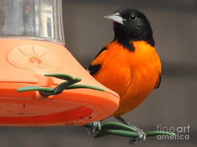 Photograph - Baltimore Oriole Male by Eunice Miller