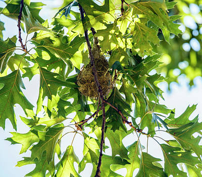 Photograph - Baltimore Oriole Nest by William Bitman