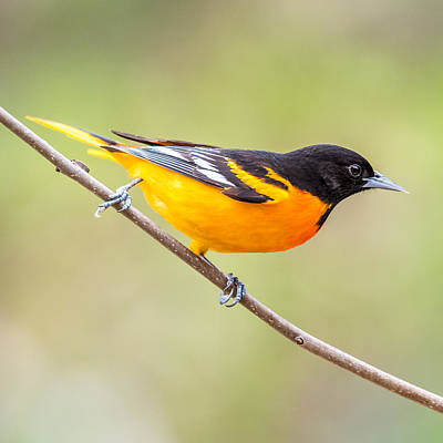 Oriole Photograph - Baltimore Oriole by Paul Freidlund