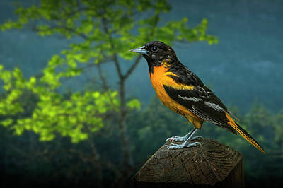 Photograph - Baltimore Oriole Perched On A Fence Post by Randall Nyhof