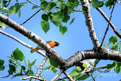 Photograph - Baltimore Oriole by Richard Smith