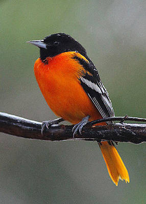 Photograph - Baltimore Oriole by Robin Coventry