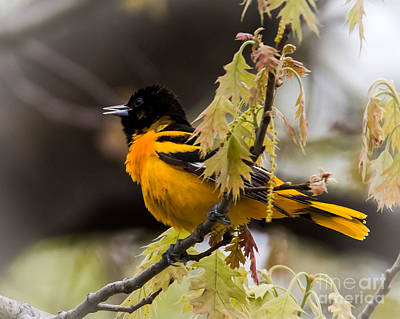 Photograph - Baltimore Oriole by Ronald Grogan