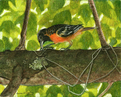 Drawing - Baltimore Oriole Starting A Nest by Susan Donley